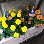 ..*ハロウィンマム🎃👻*.こんなにキレイな色の花‼️おうちに花があるっていいですね.黄色の花はゴールデンムーンオレンジの花はジャックオーランタン.1年目は小さ…のInstagram画像