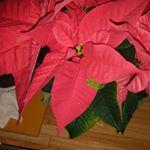 #サクシア #植物長持ちサポート #monipla #hakusan_fanポインセチアって花は咲くんだっけ?のInstagram画像