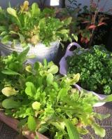 春菊・水菜 収穫です(^_-)-☆の画像(3枚目)