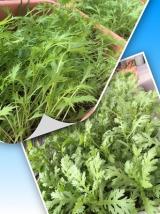 春菊・水菜 収穫です(^_-)-☆の画像(1枚目)