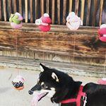 2019お正月福井にしては珍しく晴天の日が結構あり、たっぷりお散歩に出かけられました♡#福井県 #敦賀市 #柴犬 #愛犬との暮らし#リズムヘルシーウェイト #ファニマル #fanima…のInstagram画像