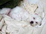 寝相から分かる犬の安眠チェックの画像(3枚目)