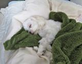 寝相から分かる犬の安眠チェックの画像(2枚目)