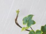 新芽の画像(2枚目)