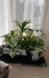 観葉植物サクシアの画像(1枚目)