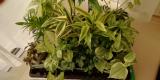 観葉植物サクシアの画像(2枚目)