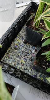観葉植物サクシアの画像(3枚目)