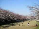 桜・さくらの画像(1枚目)