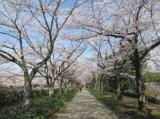 桜・さくらの画像(4枚目)