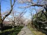 桜・さくらの画像(2枚目)