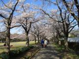 桜・さくらの画像(3枚目)
