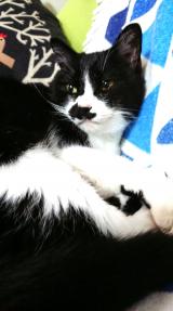 「キングアガリスク100 ペット用 ♡愛猫チャッソにアガリスク♡」の画像(2枚目)