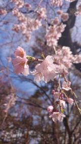食卓で春を楽しむ「桜の塩」の画像(1枚目)