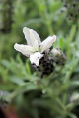 まだまだ咲いてます サクシア プランツパズルの画像(6枚目)