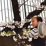 まだまだ続くよ桜🌸😂🌸😂🌸..人生でこんなに沢山桜の写真を撮ったのは初めて😂..来年も沢山撮らせてくれるかな?😌..何歳までこうして一緒に公園行ってくれるんだろ…😗..…のInstagram画像