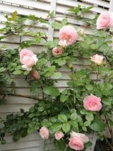 大好きなバラの季節到来:毎日がばら色の画像(3枚目)