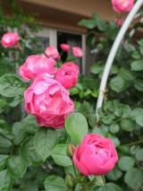 大好きなバラの季節到来:毎日がばら色の画像(2枚目)