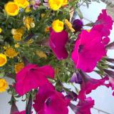 「サクシアのお花がすごい!」の画像(1枚目)