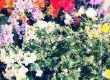 「サクシアのお花がすごい!」の画像(2枚目)