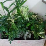 観葉植物 saxia「サクシア」プランツパズル植物長持ち体験モニター ③/普通のママさんの投稿