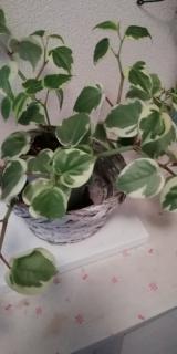 観葉植物サクシア その後の画像(5枚目)