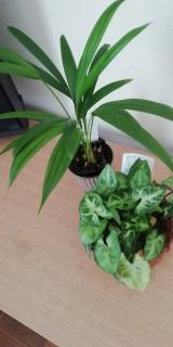 観葉植物サクシア その後の画像(3枚目)