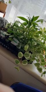観葉植物サクシア その後の画像(1枚目)