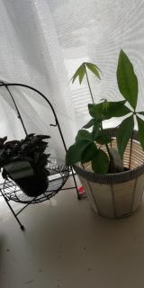 観葉植物サクシア その後の画像(2枚目)