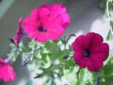 放ったらかしでも、育ってくれるお花達♪(*˘︶˘*).。.:*♡の画像(6枚目)