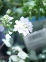 放ったらかしでも、育ってくれるお花達♪(*˘︶˘*).。.:*♡の画像(7枚目)