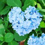 ※ハートの紫陽花❤️幸せのおすそ分け‥✨✨ #Lovisiaハート #lovisia #ラヴィジア #monipla #monosense_fan#紫陽花#あじさい#flower #梅雨#花#…のInstagram画像