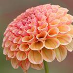 昨年の秋、世羅高原のダリア祭に行きました!!!ダリアも沢山の種類がありキレイで見ごたえがあり、驚いたことに、花びらがハート♥️の種類もあり感激しました( 〃▽〃) #Lovisiaハート #l…のInstagram画像