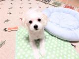 犬のマイクロチップ埋め込みの画像(3枚目)