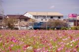 「3本のレンズで摂る野田のコスモス畑」の画像(4枚目)