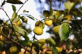 「亡き父の植えた柿が豊作です。」の画像(4枚目)