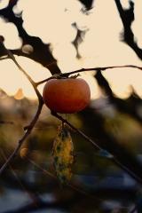 「亡き父の植えた柿が豊作です。」の画像(1枚目)