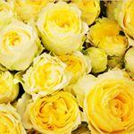 ..#家族みんな元気で楽しく過ごせますように #愛の木に願いを #メリーチョコレート #monipla #mary_fan黄色いバラを見ていると心が温かくなります💕..…のInstagram画像