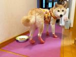 犬用オールシーズンブーツ「バウテクト」を試してみました♪さくらにモニターしてもらったよ🐕ピンクのブーツが可愛いでしょ💕※寒い冬の道から肉球をガードしてくれたり、暑い夏のアスファルトから…のInstagram画像