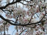 海の精「桜の花塩漬け」の画像(10枚目)