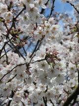 海の精「桜の花塩漬け」の画像(2枚目)