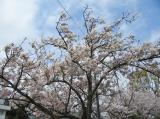 海の精「桜の花塩漬け」の画像(9枚目)