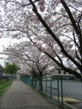 海の精「桜の花塩漬け」の画像(3枚目)