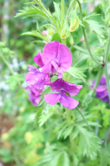 うちの庭の草花が美しすぎます。の画像(2枚目)