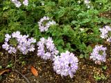 うちの庭の草花が美しすぎます。の画像(10枚目)