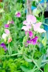 うちの庭の草花が美しすぎます。の画像(1枚目)