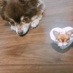 同じ格好してもらった♡ハートの缶バッジ作った!#みんなのバッジ #缶バッジ #缶バッジ作り #マグネット #DIY #monipla #cms_fan #愛犬 #チョコタンチワワ #チョコ…のInstagram画像