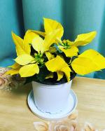 株式会社ハクサンさんの幸せのイエローカラー「ポインセチア イエロールクス」のご紹介です😊黄色のポインセチアって、初めて〜‼️日本初上陸なのだそう…とってもキレイ〜😍❤️すご…のInstagram画像