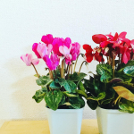 シクラメン💕冬を彩る可愛い色のお花✨葉っぱの感じも華やかで良いですね🌱モニプラ様を通じて株式会社ハクサン様より頂きました🎁4品種頂いております。お花がお家に…のInstagram画像