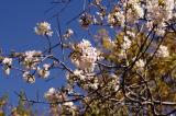 冬に咲くヒマラヤ桜の画像(2枚目)