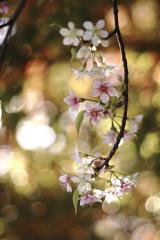 冬に咲くヒマラヤ桜の画像(3枚目)